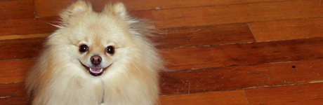 Photo by Tina Su. Tommy P. Su 3 years old Pomeranian