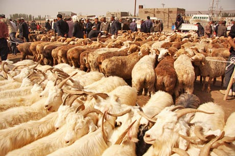 wholesale sheep market