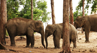 Elephant Training Camp Havelock Anadaman Islands India